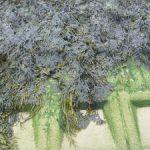 blaaswier en zee-eik oogsten