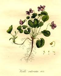 maarts viooltje medicinaal en culinair gebruiken