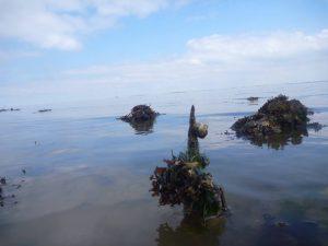 zeewier plukken