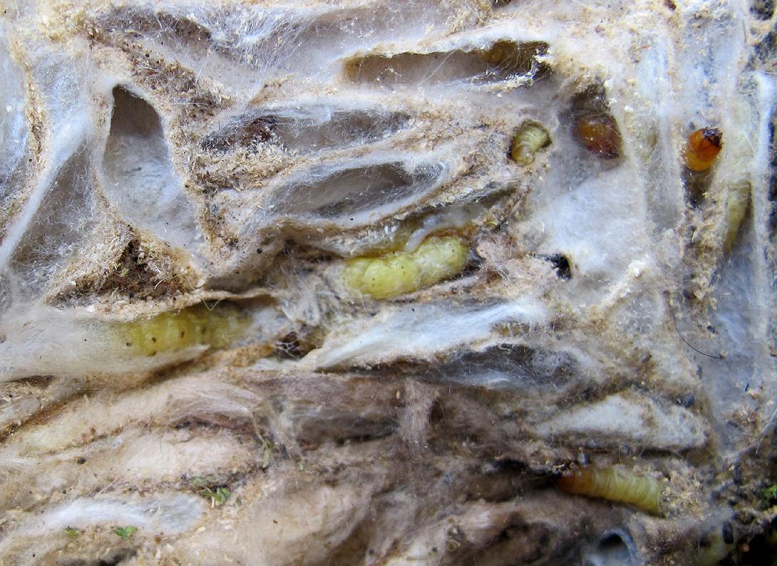 larves grote wasmot