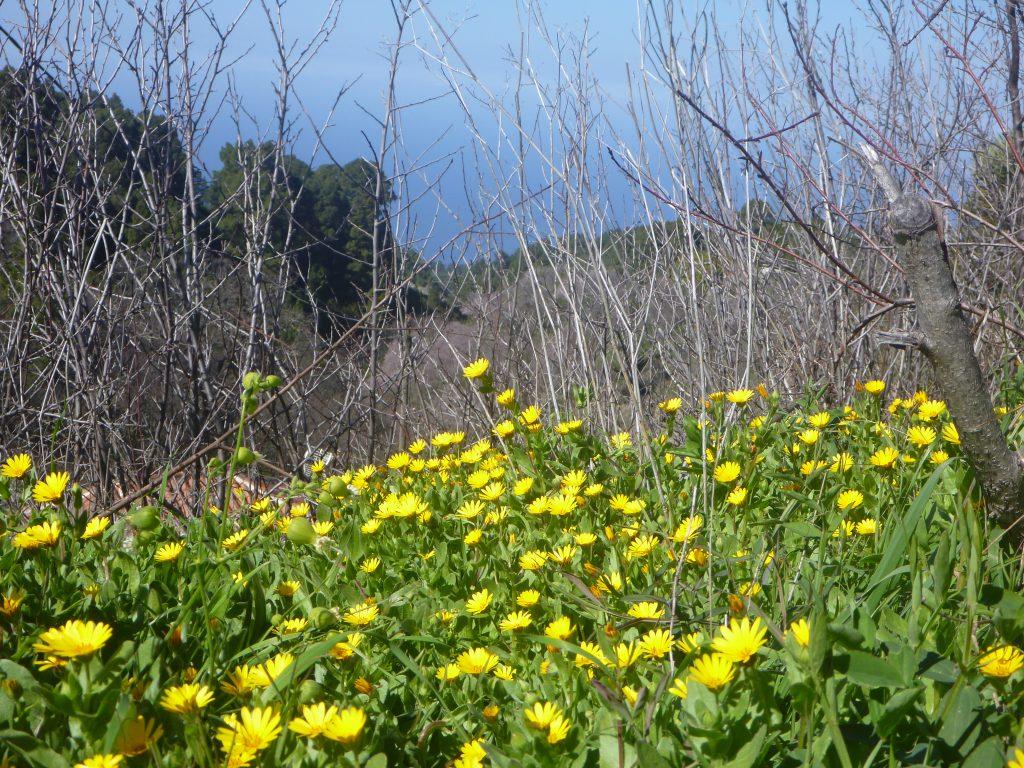 goudsbloem La Palma